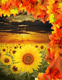 Fall field with sunflowers Stock Image