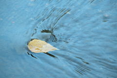 Fall Floater 2. Autom Leaf Floating on Whytemud Creek royalty free stock photo