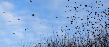 Fall - flock of birds migrating south Royalty Free Stock Photo