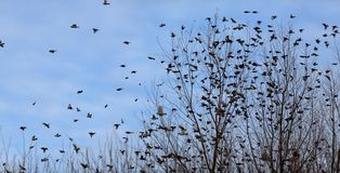 Fall - flock of birds migrating south Stock Photography