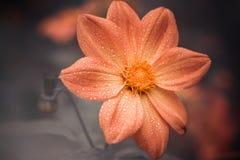 Wet fall flower closeup Stock Photography