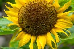 Sunflower macro stock image