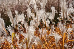 Fall flowering background. Tall grass in flower and turning yellow Stock Image