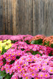 Fall flowers. Field of fall flowers against a wooden fence Royalty Free Stock Images
