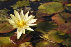 Fall Flowers. In a lily pond with decaying lily pads around them royalty free stock photo