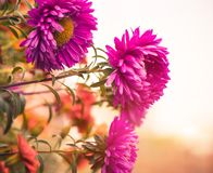 Fall flowers Stock Photography