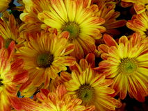 Fall Flowers. For a festive holiday season Royalty Free Stock Photo