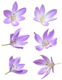 Fall flowers: Violet Crocus Flowers Royalty Free Stock Image