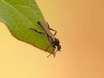 Fall Fly on Leaf Royalty Free Stock Photography