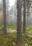 Foggy pine forest. Fall foggy pine forest from Finland Stock Image