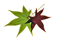 Fall Foilage 1. Photograph of fall tree leaves changing color Royalty Free Stock Images