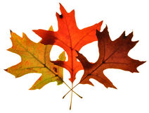 Fall Foilage 3. Photograph of fall tree leaves changing color Stock Photo