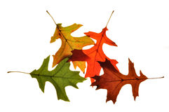 Fall Foilage 5. Photograph of fall tree leaves changing color Royalty Free Stock Images