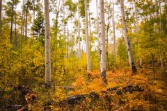 Fall Foilage Aspen Trees in the Colorado Mountains. This is a photograph of a fall foilage in the aspen trees. The landscape is in Aspen Colorado amoungst the stock photography