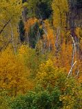 Fall Foilage and Birches Stock Photo