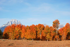 Fall Foliage. Aspen tree in the Fall in front of Mount Moran, Grand Teton National Park, Wyoming Royalty Free Stock Photography