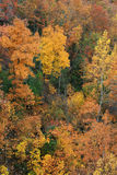 Fall foliage. Bright yellow and red fall foliage contrasted against a few evergreen trees Stock Images
