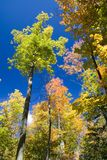 Fall Foliage. Maples in early Fall foliage royalty free stock image