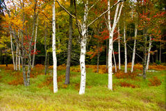 Fall foliage. Three birch trees in foreground of fall foliage in Vermont, USA Royalty Free Stock Photo