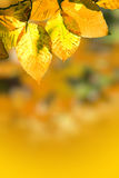Fall Foliage. Closeup of fall foliage in orange Royalty Free Stock Photography