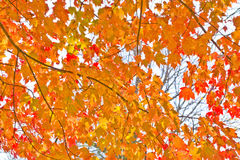 Fall Foliage. Canopy of fall foliage in orange Royalty Free Stock Images