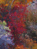 Fall foliage. Colorado fall foliage Royalty Free Stock Photos