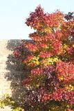 Fall Foliage. With brick wall Royalty Free Stock Images