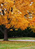 Fall foliage. Colorful yellow and orange fall foliage on tree Stock Photos