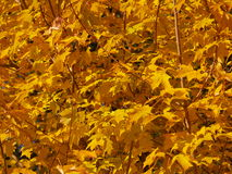 Fall foliage. Maple foliage in fall Stock Photos