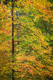 Fall Foliage. An abstract view of a colorful tree during autumn Stock Images