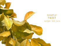 Fall foliage against white. Background Stock Photography