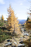 Fall foliage in alpine forest. Fall foliage on trees in alpine forest against blue skies on sunny day Stock Photo