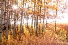 Fall foliage. Aspen grove in fall with sunburst shining through Stock Photo