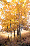Fall foliage. Aspen grove in fall with yellow grass below Stock Photography