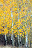 Fall foliage. Aspen grove in fall with yellow grass below Royalty Free Stock Photo