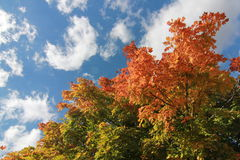Fall Foliage. Autumn leaf color is a phenomenon that affects the normally green leaves of many deciduous trees and shrubs by which they take on, during a few Stock Images