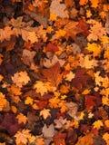 Fall Foliage, Autumn, Leaves Royalty Free Stock Photo