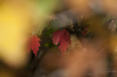 Free Fall Foliage Autumn Leaves Close Up Background Stock Photography - 99029802