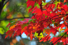 Fall Foliage Autumn Leaves Close Up Background. Close up of Fall Foliage Autumn leaves in shadows with red and green blurred background Stock Photos
