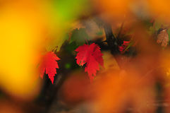 Fall Foliage Autumn Maple Leaves Close Up Background. Close up of Fall Foliage Autumn Maple leaves in shadows with red and green blurred background Stock Images