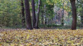 Fall foliage in the autumn in the park. stock video footage