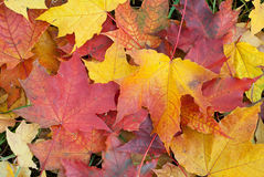 Fall foliage background. Maple leaves Royalty Free Stock Photo