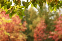 Fall foliage background Stock Photography