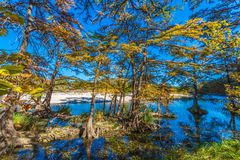 Fall Foliage on the Bald Cypress Trees in the Crystal Clear Frio River. Royalty Free Stock Photo