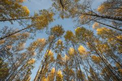 Fall foliage of birch trees. Seen from low angle royalty free stock photography