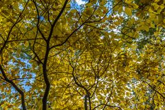 Fall Foliage branches reach for the sky with their yellow leaves. Branches with yellow foliage in front of a blue sky Royalty Free Stock Photo