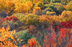 Fall foliage. Canopy of bright color autumn trees in West Virginia Royalty Free Stock Image
