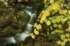 Fall foliage beside a cascading brook, White Mountains, New Hamp. Colorful fall foliage of a hobblebush shrub and flowing water of East Pond Brook in the White Stock Image