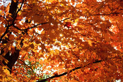 Fall foliage. The colorful canadian fall foliage Royalty Free Stock Images