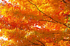 Fall foliage. The colorful canadian fall foliage Royalty Free Stock Photo